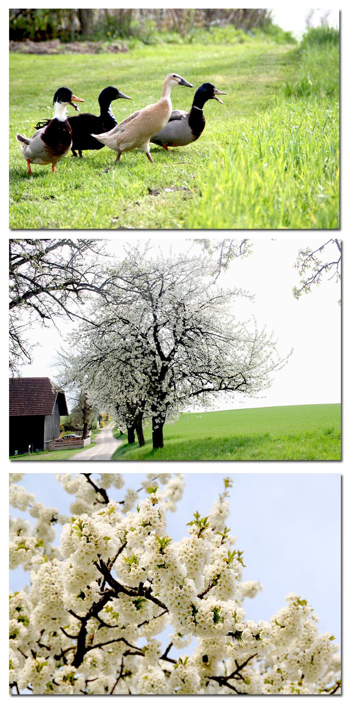 Kirschblüten1